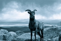 Big Horn Sheep at Mount Evans Summit